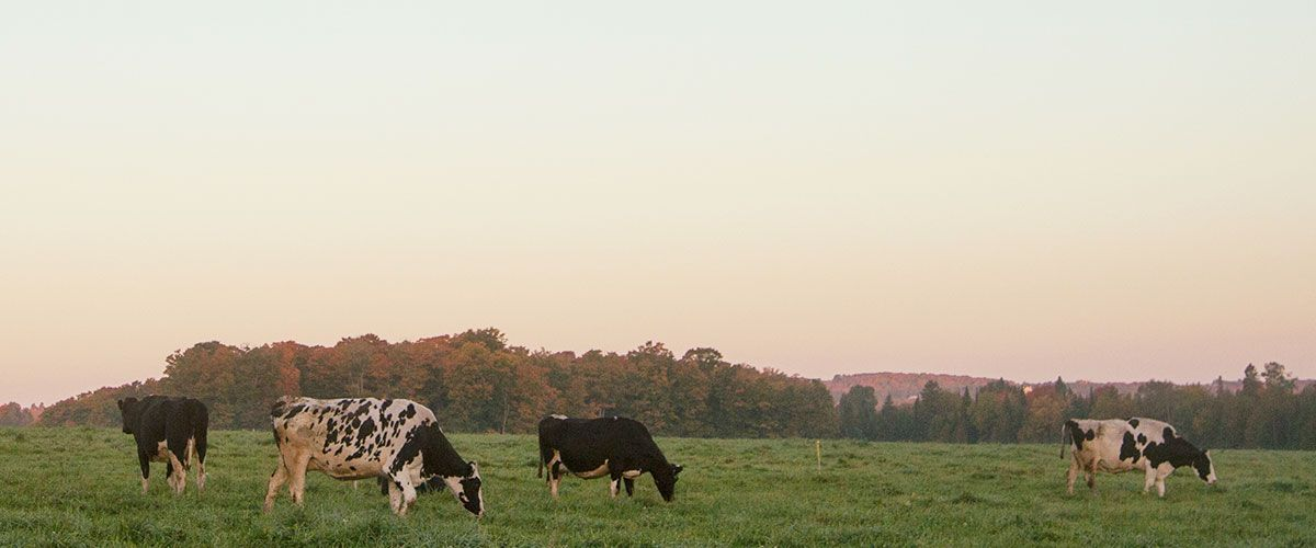 Cows grazing at dusk
