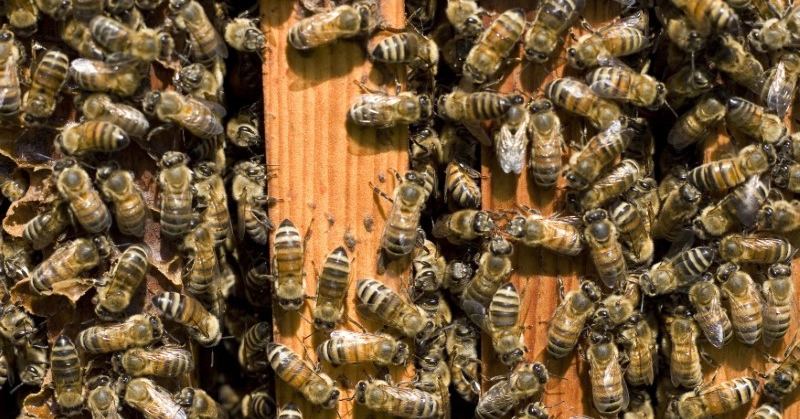 Canada to phase out crop chemicals linked to bee deaths