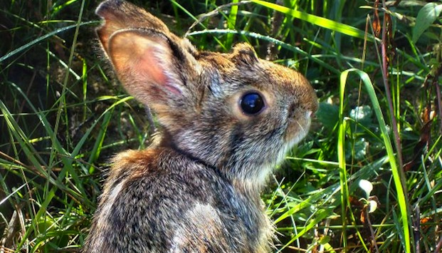 A cottontail in the grass