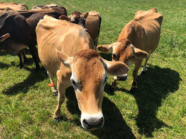 Stonyfield Cows Group Picture